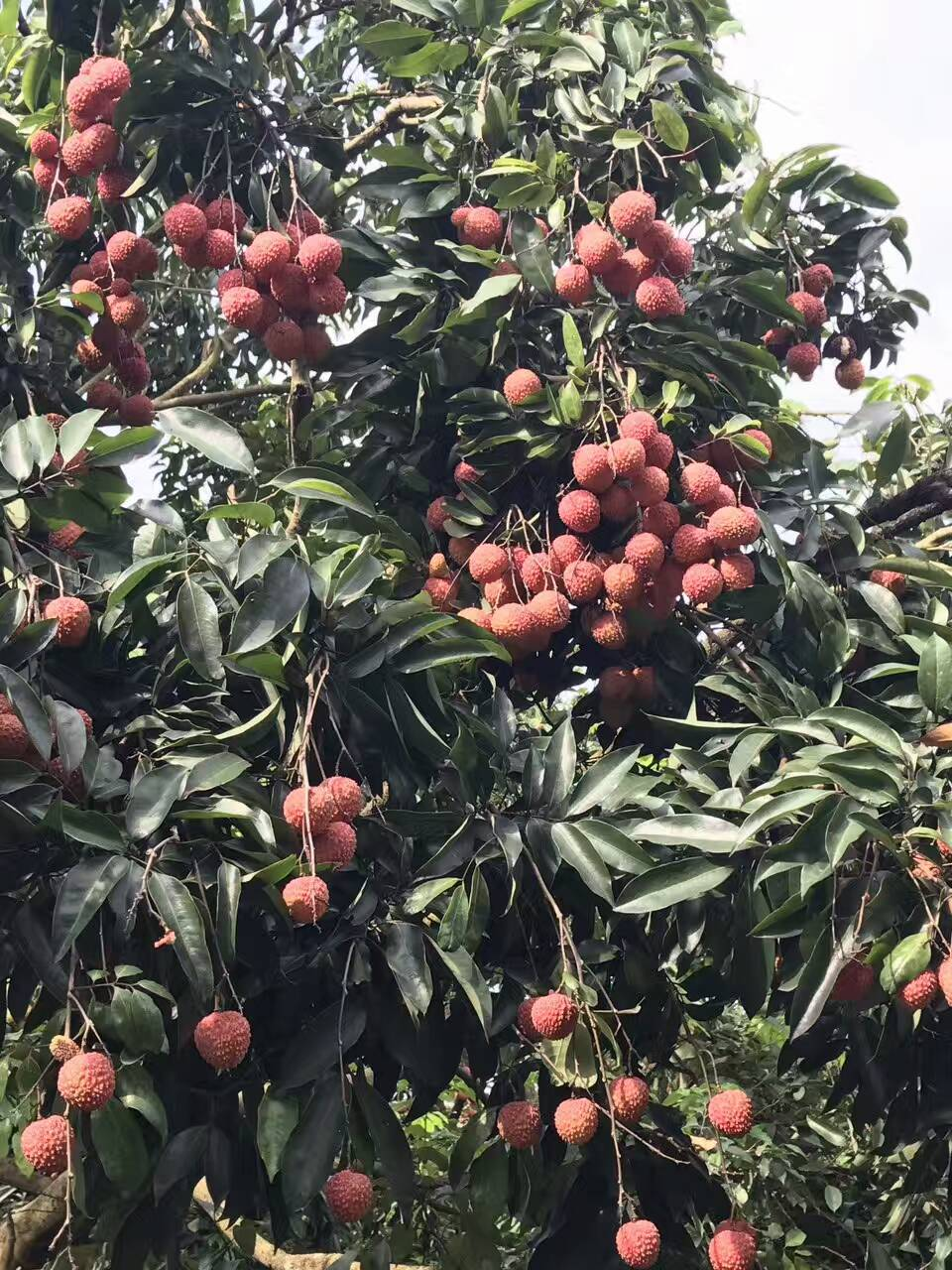 罗浮山荔枝  罗浮山一日游  荔枝成熟 的季节